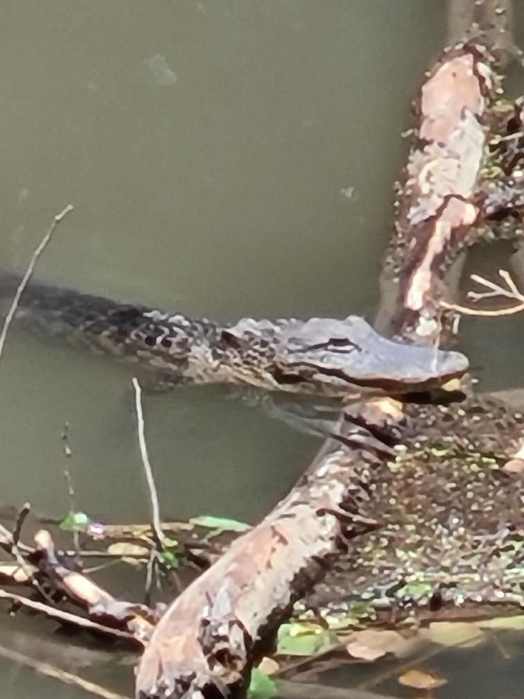 photo of alligator